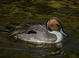 Northern Pintail taken by Dan Mitchell at the moat around the Phoenix Zoo on 1-29-2006.